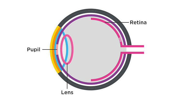Anatomy of the eye - 2